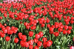 Red Tulip Field (Read2me) Tags: she flowers red field boston garden spring tulips copleysquare duele cye gamewinner tcfe greenmany pregamesweepwinner