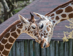 Brookfield Zoo 16 (Jan Crites) Tags: animals mammal zoo illinois nikon explore brookfield giraffe brookfieldzoo d600 explored