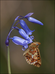 Pearl-bordered Fritillary on Bluebell (Grasping-air) Tags: