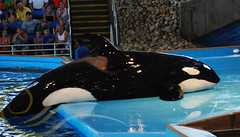 Tuar2 (GypsySkye7) Tags: sanantonio believe orca seaworld shamu killerwhale captivity tuar
