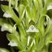 Pelexia laxa - Pearl Crosier