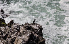 Shag on the rocks (Richie Hession) Tags: bird cormorant shag lundy