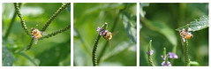 Busy Busy Bee (michael.veltman) Tags: pink light detail green time random bee busy floyd