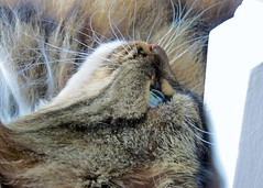 Upside Down Head (Daisy Waring World) Tags: cats 19 catseye tabbycat catsnose whickers catswhiskers catsface