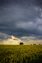 Storm (sshea71 Looking for inspiration!) Tags: tree field yellow clouds rural canon rape lincolnshire fields rapeseed folkingham 60d canon60d