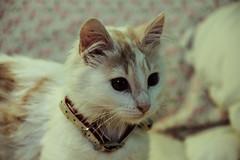 Gatita :) (Camila Belmar Puchy) Tags: animal cat gatos gata felino animales canela