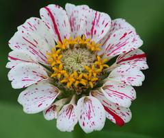 Crowned Zinnia (lynne_b) Tags: flowers nature garden petals illinois flora seasons blossoms blooms zinnia mygarden bicolor zinniz redandwhitezinnia