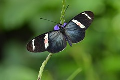 Heliconian with sheeny blue wings, white bands and unusual pink spots (jungle mama) Tags: ngc fairchildgarden fairchildtropicalbotanicgarden longwing heliconius pinkspots supershot heliconiussara longwingbutterfly heliconiusantiochus alittlebeauty heliconianbutterfly coth5 mygearandme heliconiussarafulgidus wingsofthetropics unusualheliconius