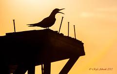 Tern on Naples Pier (Explored) (Rafe Abrook Photography) Tags: wood bird silhouette pier florida nails naples tern seabird naplespier
