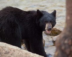 Black Bear at Lake George (Mike Girod) Tags: bear nature wildlife lakegeorge sierras mammothlakes blackbear easternsierra wildlifephotography