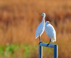 Egret Week at Cheyenne Bottoms (Ruthie Kansas) Tags: white bird wetlands bottoms kansas egret cheyenne cattleegrets