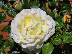 A beautiful pale rose in my garden (pat.bluey) Tags: flowers rose australia newsouthwales 1001nights mygarden coth supershot flickraward coth5 1001nightsmagiccity sunrays5