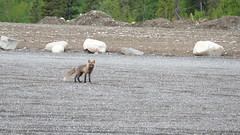 Red Fox (timtanner72) Tags: alaska wildlife palmer fox redfox
