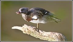 Mandarins (CliveDodd) Tags: duck mandarin drake waterfowl aixgalericulata mandarins