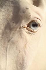 Turkmen Horse (owilybug) Tags: travel portrait horse eye canon asia albino centralasia stallion studfarm turkmenistan longface ashgabat akhalteke horsephotography canon7d