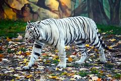 White Tiger - Raul I. (gambit03) Tags: white zoo tiger leafs bltter bengal tigris whitetiger raab weis gyor gyr fehr knigstiger llatkert levelek bengli weisetiger fehrtigris