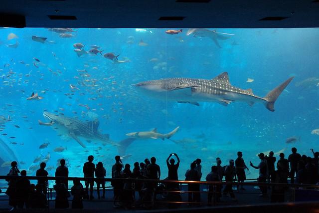 美ら海水族館のじんべいざめお食事タイム|沖縄美ら海水族館