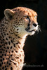 Golden Light (LawrieBrailey) Tags: morning light heritage female cat photography photo kent big nikon wildlife foundation 300mm mia cheetah d3 afs f40 lawrie brailey cheetahess