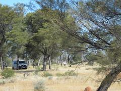 VW coming into Lynette's Bore (spelio) Tags: travel desert hwy wa remote gibson grasslands gunbarrel g12 sheoaks 2011