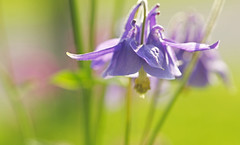 With Each Breath (Lala Lands) Tags: dof bokeh aquilegia springflowers goldenhour warmlight purpleflowers springlight nikkor105mmf28 purplecolumbine nikond300s