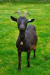 A goat of Blanchefontaine  ( Belgium )  1/2 (Pantchoa) Tags: animal nikon belgium belgique ardennes goat pasture nikkor cabra chvre wallonie ardenne vielsalm walonia d90 pturage blanchefontaine 1685f3556gedvr vision:flower=0512 vision:outdoor=0909 vision:plant=0571