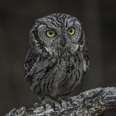 Western Screech Owl (Eric Gofreed) Tags: arizona owl maderacanyon westernscreechowl cochisecounty