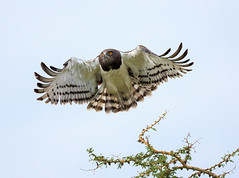 Black-Necked Snake Eagle (MyKeyC) Tags: africa tanzania eagle todd eagleinflight blackchestedsnakeeagle aaacolevanscd