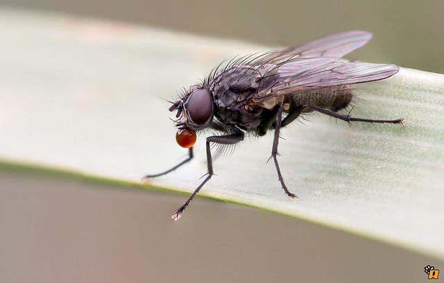 macro nature closeup insect fly natura bubble moschino gnat mosca insetto diptera anthomyiidae chewingum dittero smallfly focusstacking moscerino canon6d tamron180mm35macro kenkodgxpro3002x moscoidae