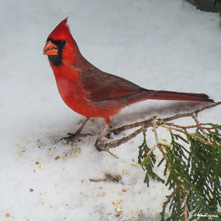 Cardinal in Winter - Cardinal en hiver