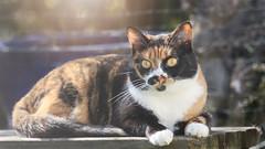 Felice (No_Water) Tags: cat calico felice infinitexposure