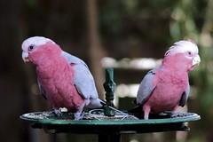 Feeding Galahs (Jungle Jack Movements) Tags: galah parrot backyard bird birdfeeder canon feed eyes john capital ss jungle jack