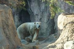 Polar Bear at Yokohama Zoorasia 2014-03-15 (kuromimi64) Tags: japan zoo polarbear yokohama kanagawa    zoorasia    yokohamazoologicalgardens
