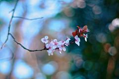 Blosokeh (Jgunns91) Tags: light summer england plant flower tree art nature season spring nikon colours blossom bokeh turquoise teal buds 365 tones 41 365project