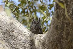 Greyish Eagle Owl (bubo africanus cinerascens) (steve.keightley) Tags: africa west bush track eagle owl gambia greyish banta faraba