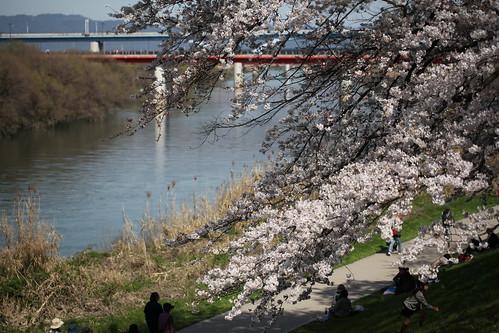 宇治川沿いに咲く桜