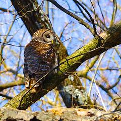 Barred Owl1 (RKop) Tags: missouri barred barredowl slta77vq 704000gssmsony raphaelkopanphotography