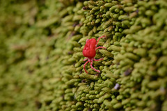 Tiny and red (szhorvat) Tags: red macro nature moss vivid bugs tiny mite redandgreen velvetmite forestlife