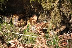 Adder - First views of the Female. (Steviethewaspwhisperer) Tags: dance snake viper snakes adder adders vipers danceoftheadders