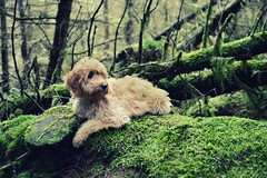 Poser (colincraww) Tags: trees summer dog cute green forest puppy moss woods earth australian earlymorning roots labradoodle australianlabradoodle
