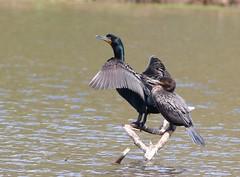 Neotropic and Double Crested Cormorants (Kandimon) Tags: cormorant neotropic