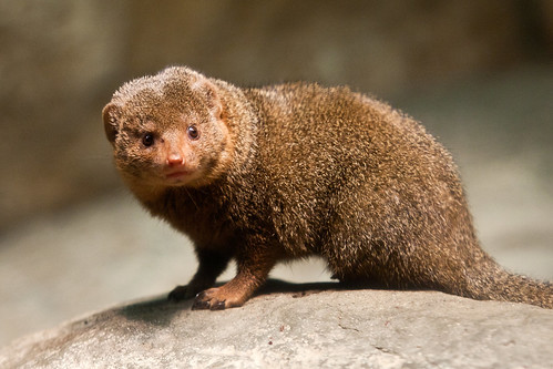 dwarf mongoose lincoln park zoo