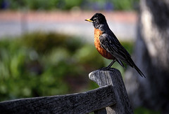 HCS  Spring Robin edition (Wes Iversen) Tags: nature birds bokeh wildlife robins benches chicagobotanicgarden hcs nikkor18300mm clichsaturday
