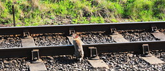 RABBIT LEAPS RAILS (Keith Wilko) Tags: rabbit wildlife tracks worcestershire rabbits railways railwayline ballast sleepers svr severnvalleyrailway bewdley