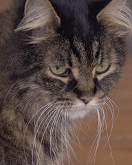 Snooky (GaryKurtz) Tags: animals set flickr beautifulcats maincooncat garykurtzphotos animalsasetonflickr