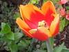 I've already said my goodbyes to the pretty tulips . . . (pawightm (Patricia)) Tags: austin texas inmygarden centraltexas midfebruary backyardborder unknowncultivar pawightm redandorangetulip rscn0423220201544152pm