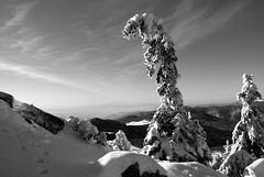 égig érő fa / sky-high tree (debreczeniemoke) Tags: winter blackandwhite bw snow mountains pine forest landscape hiking hegy transylvania transilvania ff pineforest tájkép gutin erdély hó tél erdő túra feketefehér fenyő fenyves rozsály kakastaréj canonpowershotsx20is gutinhegység munţiigutâi creastacocoşului munţiigutin gutinmountains égigérőfa skyhightree
