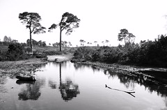 Twin Pines (brightondj - getting the most from a cheap compact) Tags: bw reflection tree pine puddle heath dorset poole canfordheath canford