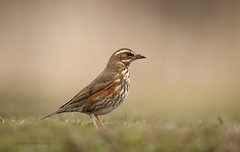 Redwing (Jonathan Bowcutt EFIAP BPE3) Tags: winter farmland redwing migrant rspb oldmoor nikonnaturephotography