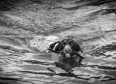 Water-Born (Daniel C P M) Tags: portrait blackandwhite bw dog white black detail water animal outside pointer olympus reservoir terrier stick determined markings compact eager