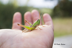 IMG_1231 1 (Pablo Salvai) Tags: insecto tucura